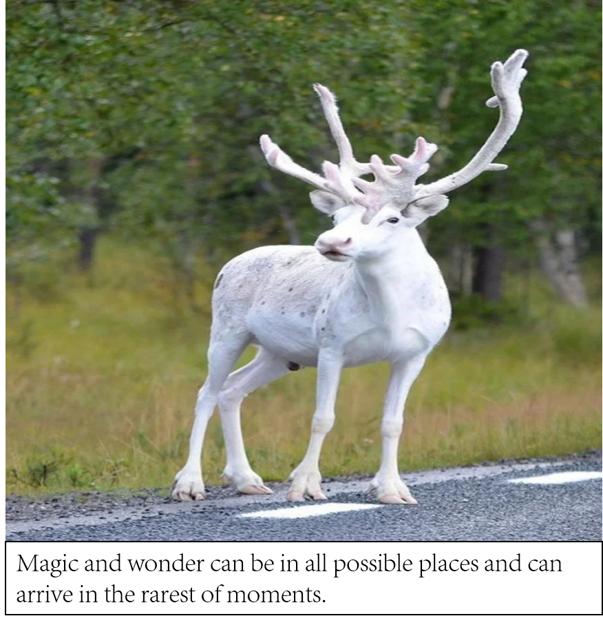 [Image] Photograph taken by pure luck of a white reindeer.
